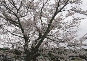 桜_0005