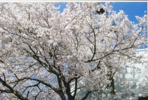 桜_0009