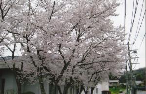 桜_0004